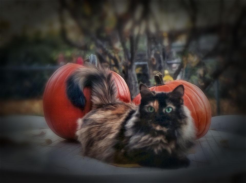 Echo the Cat and Pumpkins