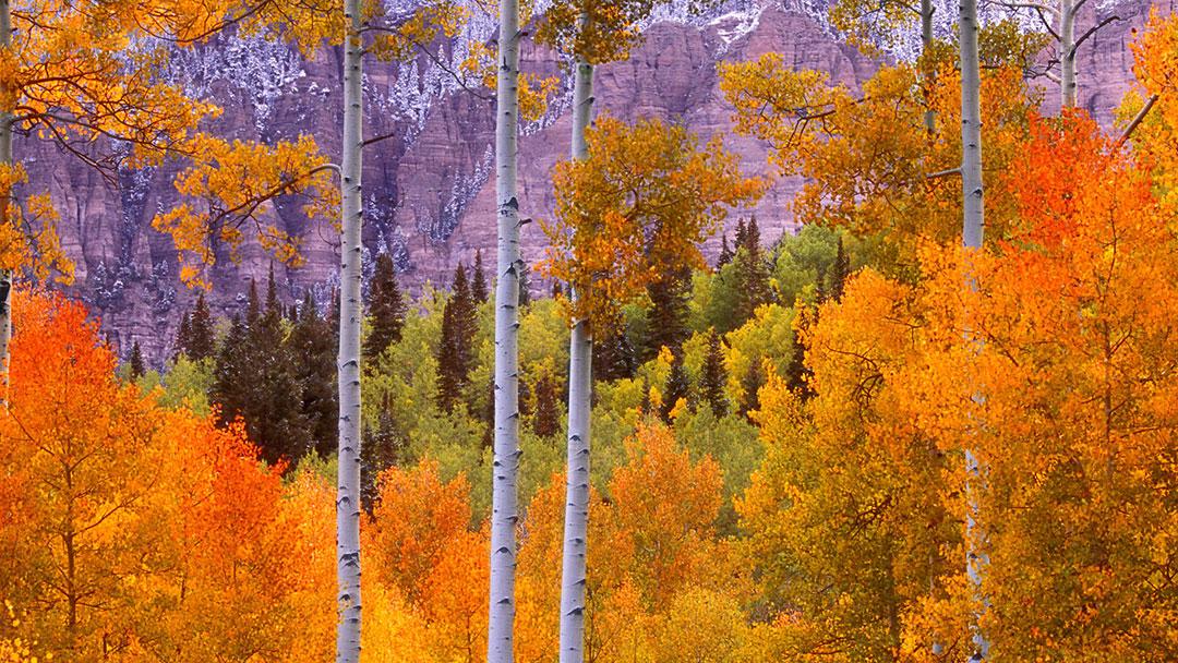 fall-aspens - cimarron road colorado